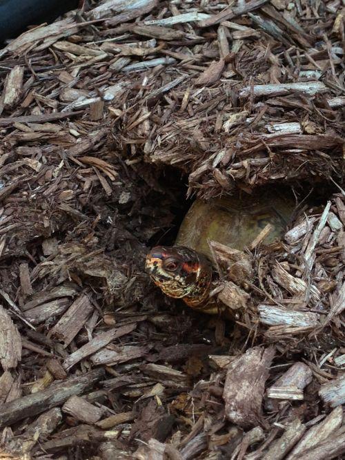 Turtle Peeking Out