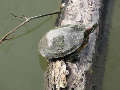 Turtle Sunning On Log