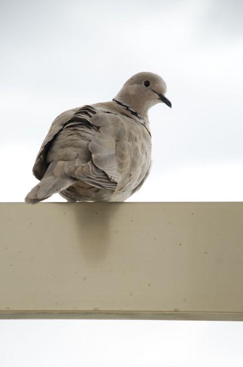 turtledove balcony portrait