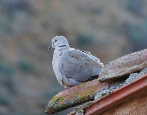 turtledove eurasian collared dove lookout