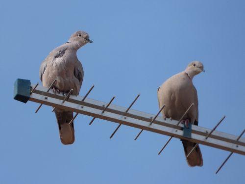 turtledoves antenna gesture
