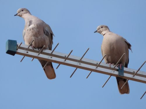 turtledoves birds antenna