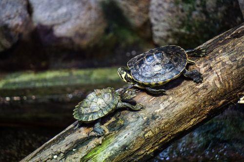 turtles log water