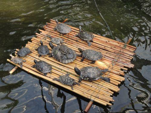 turtles raft water turtle