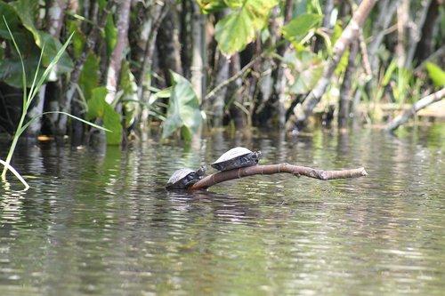 turtles  amazon  river