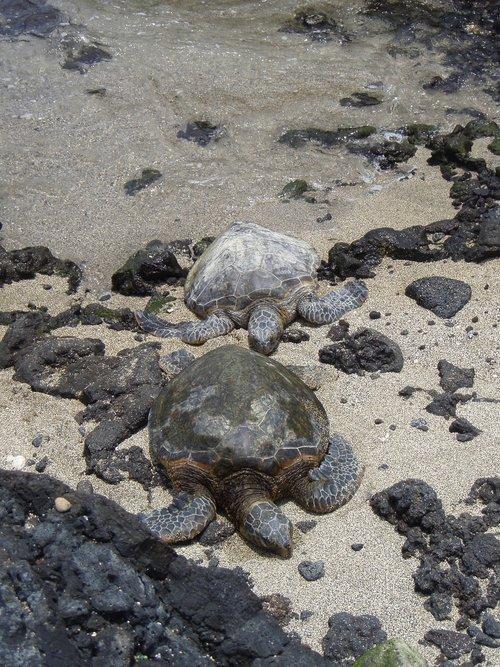 turtles  couple  hawaii