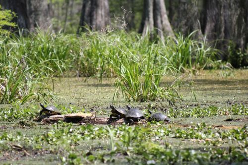 turtles swamp nature