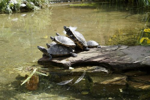 turtles bask on the water