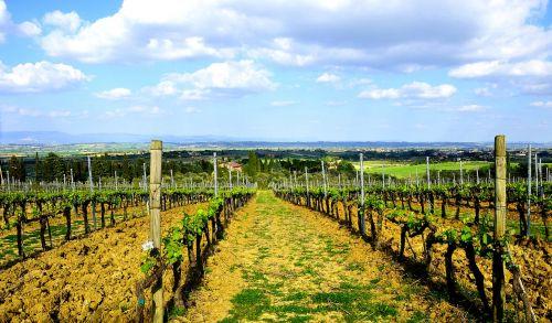 tuscany winegrowing vine