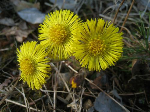 tussilago yellow flowers