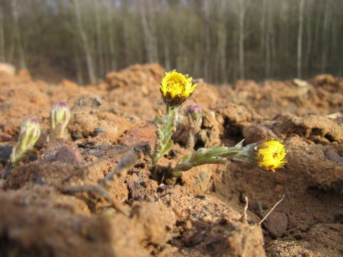 tussilago coltsfoot plant