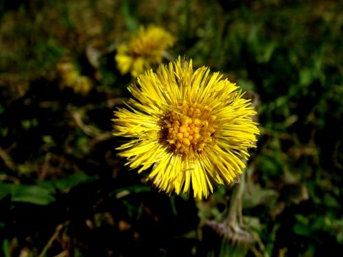 tussilago farfara,vaistinis augalas,asteraceae,tussilago
