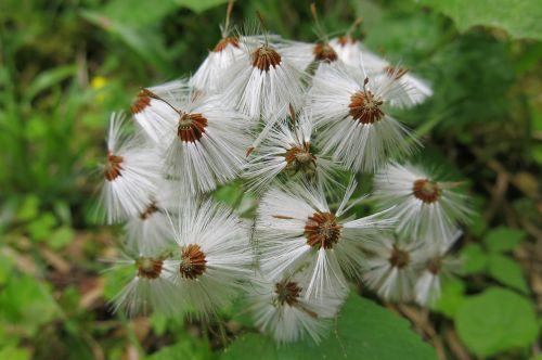 tussilago farfara wet dandelions