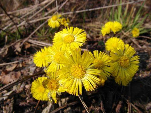 tussilago farfara march early bloomer