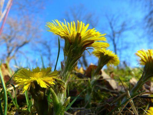 tussilago farfara flower blossom