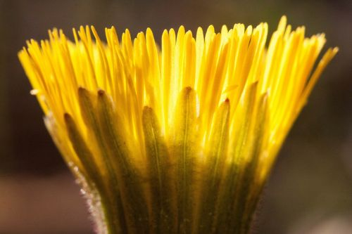 tussilago farfara flower macro