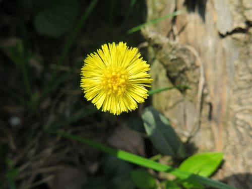 tussilago farfara herb nature