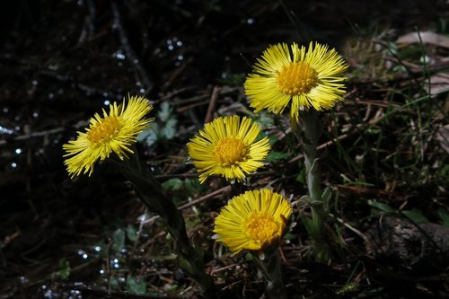tussilago farfara  yellow flower  nature