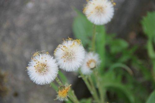 tussilago farfara  medicinal plant  tussilago