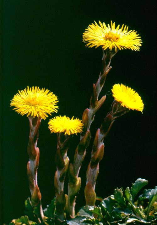 tussilago farfara flower nature