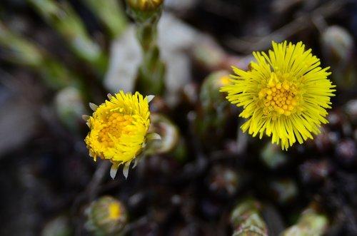tussilago farfara  early spring  flower