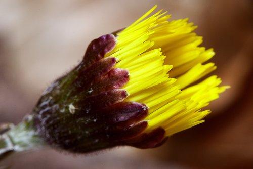 tussilago farfara  blossom  bloom