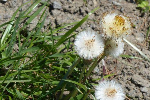 tussilago farfara flourished from harbinger of spring