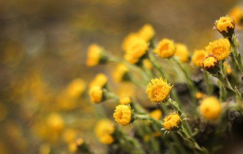 tussilago farfara flowers medicinal plant
