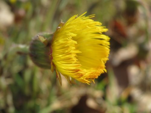tussilago farfara coltsfoot wildflower