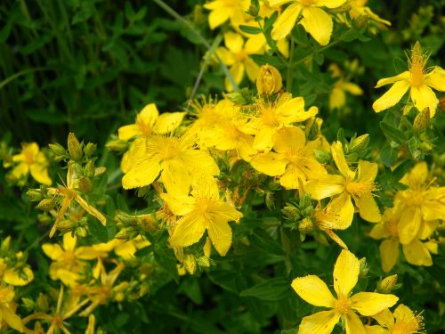 tutsanas,žolė,laukinė žolė,žydėti,augalas,vasara,šviesus,Iš arti,makro,pieva,laukas,laukinės gėlės,pievos žolė,laukinės žolelės,lauko gėlės,vasaros gėlės,gėlės,gamta,gėlė