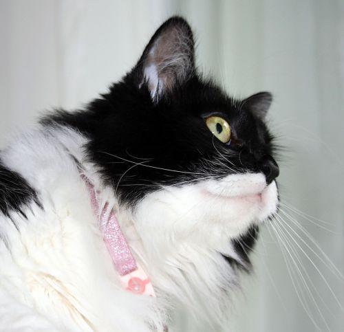 smokingas,katė,kačiukas,zorro,kačių,mielas,gyvūnas,naminis gyvūnėlis,kačiukas,žavinga,mielas,saldus