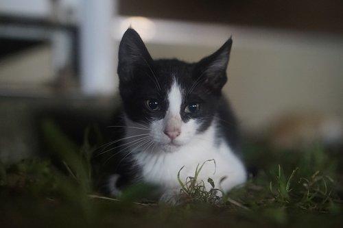 tuxedo  tuxedo just  street cat
