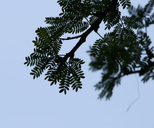 Twig With Compound Leaf