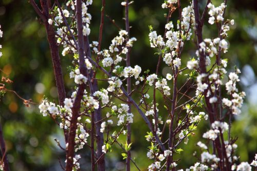Twigs With White Blossoms