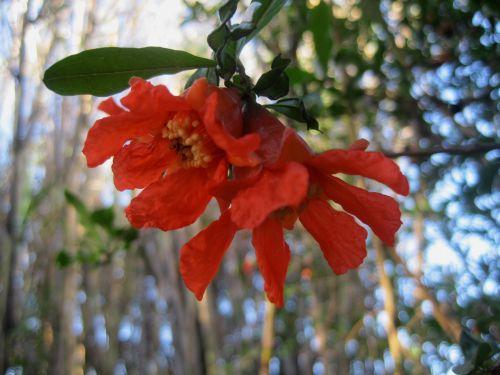 Twin Pomegranate Flowers