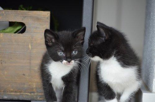 twins  cat  kitten