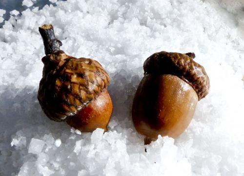 Two Acorns In Snow