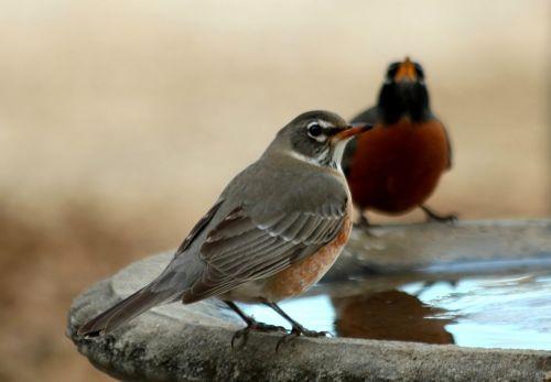 Two American Robins At Bird Bath