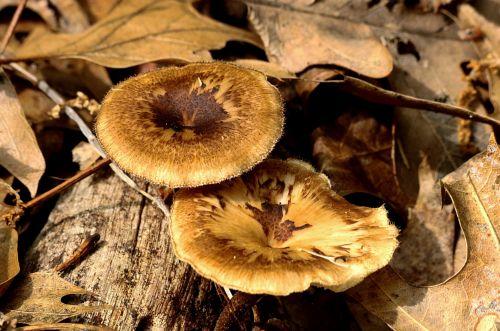 Two Brown Mushrooms In Leaves