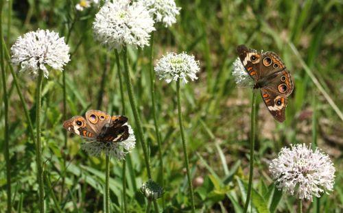 Two Buckeye Butterflies In Field