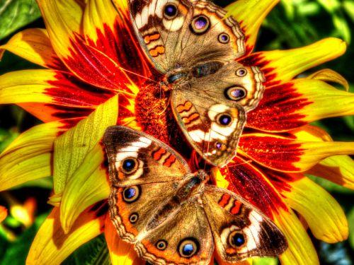 Two Buckeye Butterflies