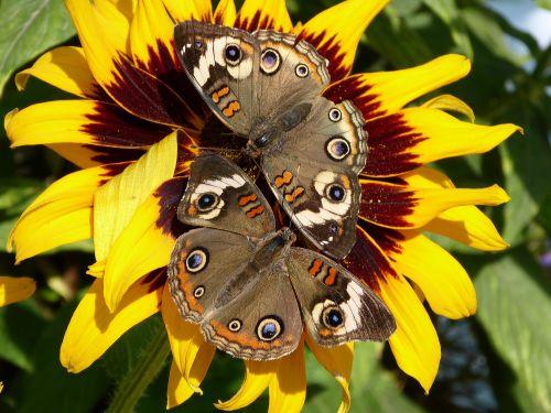 Two Butterflies On Sunflower