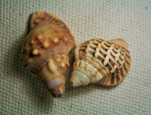 Two Conch Shells With Pattern