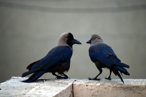 two crows pair corvus