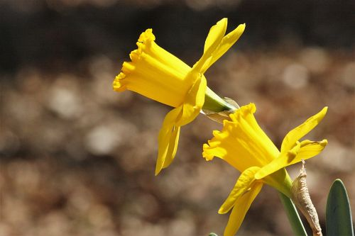 Two Daffodils In Spring
