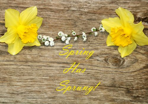 Two Daffodils On Wood Background