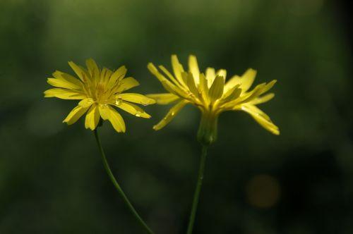 Two Dandelions In Green Meadow