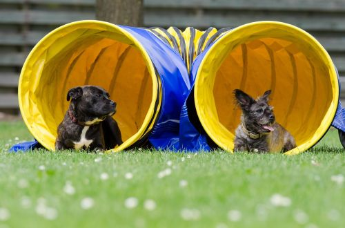 two dogs in the tunnel agility tunnel