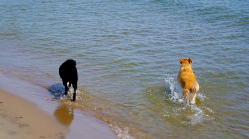 Two Dogs Running Into The Surf