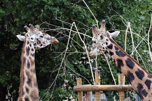 Two Giraffes And Invisible Public